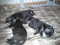 We have six stunning AKC certified puppies left, 4