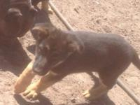 Got this beautiful German Shepard female puppy she was