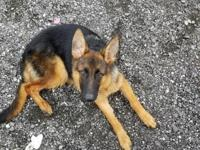 German Shephard Puppy For Sale from imported