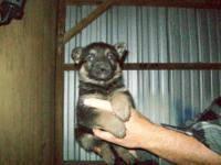 german shephard puppies male akc, mostly black in