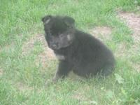 Adorable German Shepherd puppies! 4 females available