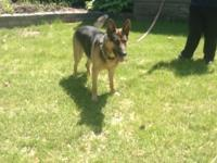 I need to sell my 1 year old male German shepherd. I