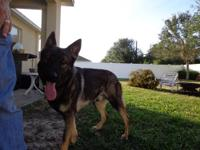 One year old male German Shepherd, Bandit, needs