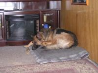 German shepherd 5 year old purebred female excellent