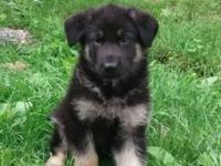We 1 male German shepherd for sale. Great with kids and