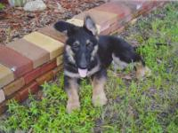 German Shepherd - Adorable Puppie. Lg Boned, Strong and