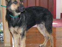 2 1/2 year old CKC, black and tan female, not fixed,