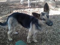 Meika is a 3 year old black/tan german shepherd. She