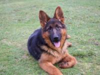 Gorgeous 7 month old german shepherd available.