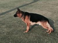 German Shepherd. STUD AKC CKC. BLACK. AND RED. .SHOW