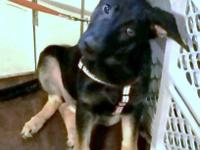 AKC German Shepherd female pup almost 15 wks. old. She