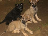 Hey there _ we have German Shepherd pups DOB is
