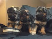 I have 3 males and 4 females AKC full breed German