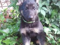 AKC German Shepherd puppies. First shots and