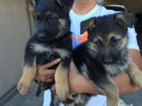 Hello everyone, I have cute Pure Bred German Shepherds