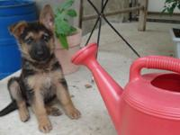AKC German Shepherd pups from champion bloodlines.