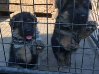 black & red showline german shepherd puppies available