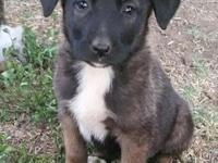 German Shepherd/Akita mix puppies, 8 weeks old, 1st