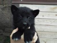 Female Alaskan Malamute/ German shepherd young puppy.