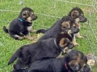 AKC German Shepherd puppies. German Import lines.