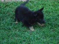 I have a 6-week German Shepherd puppy (female) for