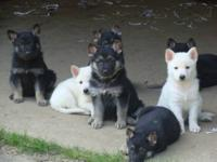 For Sale are Full Blooded German shepherd pups red and