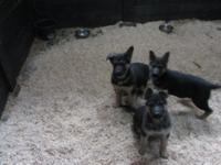 German Shepherd pups black and red born 1-13-14 2 males