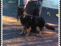 I have a stunning german shepherd lady 6 months old