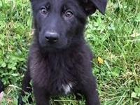 Female German Shepherd puppy 10 weeks old, up to date