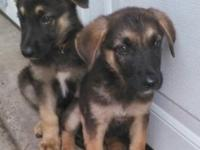 I have 2 female German Shepherd puppies they are 8