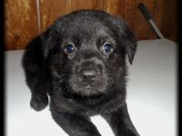 German Shepherd/ Aussie/ Boxer Puppies for sale. There
