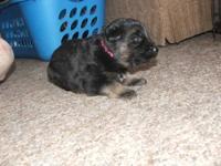 Betty is a cute black and tan german shepherd female.
