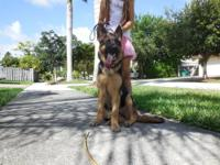 AKC papers,German Shepherd female 6 months old, mother