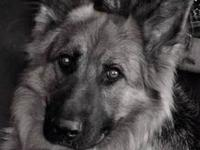 We are Green Meadow Ranch Kennels a German Shepherd