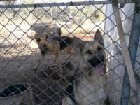 Pure Breed German Shepherd couple. Sire is. 1 yr 2