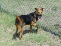 German Shepherd Dog - 82511 - Large - Adult - Female -