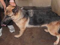 German Shepherd Dog - A17436646 Nicki - Large - Adult -