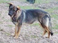 Need to rehome our female German Shepherd Dog, born