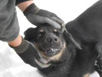 German Shepherd Dog - Alfie - Medium - Young - Male -