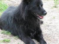 German Shepherd Dog - Amanda - Large - Adult - Female -
