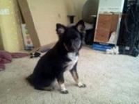 German Shepherd Dog - Amy - Medium - Adult - Female -