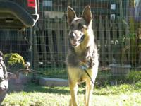 German Shepherd Dog - Angel - Large - Adult - Female -