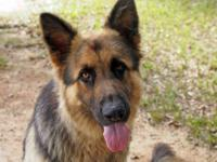 German Shepherd Dog - Apache - Extra Large - Adult -