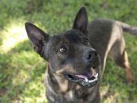 German Shepherd Dog - Aries - Medium - Adult - Male -