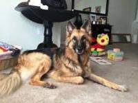 German Shepherd Dog - Bella - Large - Adult - Female -
