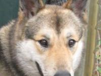 German Shepherd Dog - Bella - Large - Young - Female -