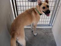 German Shepherd Dog - Blaney - Large - Young - Female -