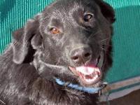 German Shepherd Dog - Blue Champ 1/2 Off In November -