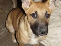 German Shepherd Dog - Blue Champ - Large - Young - Male