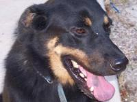 German Shepherd Dog - Boscoe - Medium - Adult - Male -